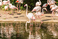Flamingo birds standing in water