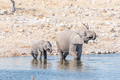 African elephant cow and calf drinking water - PhotoDune Item for Sale
