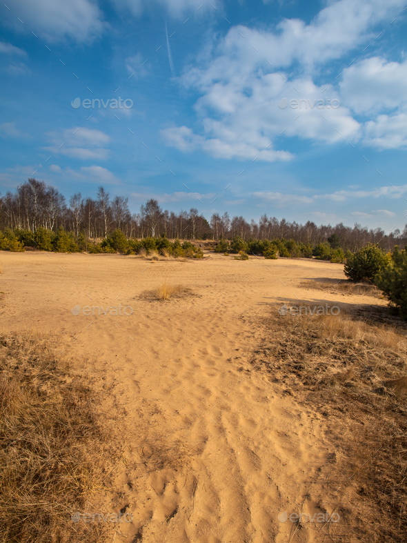 Heather and Sand in Planken Wambuis - Stock Photo - Images