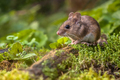 Wood mouse on forest floor