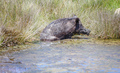 Wild pig cooling down in swamp