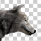 Realistic 3D Wolf Walk Animation - 2 - VideoHive Item for Sale