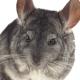 Gray Chinchilla Eat Tasty Pet Food. White Background