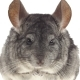 Chinchilla Eating Food Sitting on Hind Legs, Looking Camera.