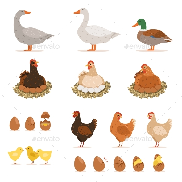 Chickens, Ducks and Other Farm Birds - Animals Characters