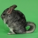 Chinchilla Sits on Hind Legs Sideways To Viewer. Green Screen