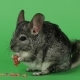 Chinchilla Eats Food for Rodents From Red Seeds. Green Screen