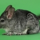 Gray Chinchilla Washed and Licked Sideways To Camera. Green Screen