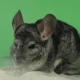 Bathing Chinchilla in Sand for These Animals. Green Background,