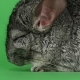 Gray Chinchilla Sleeps with Closed Eyes on Green Screen Background