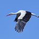 White stork (Ciconia ciconia) - PhotoDune Item for Sale