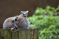 Lemurs in the forest  - PhotoDune Item for Sale