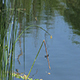 Green Reeds on Edge of Pond with Dragonflies - VideoHive Item for Sale