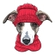 Vector Italian Greyhound Dog Breed - GraphicRiver Item for Sale