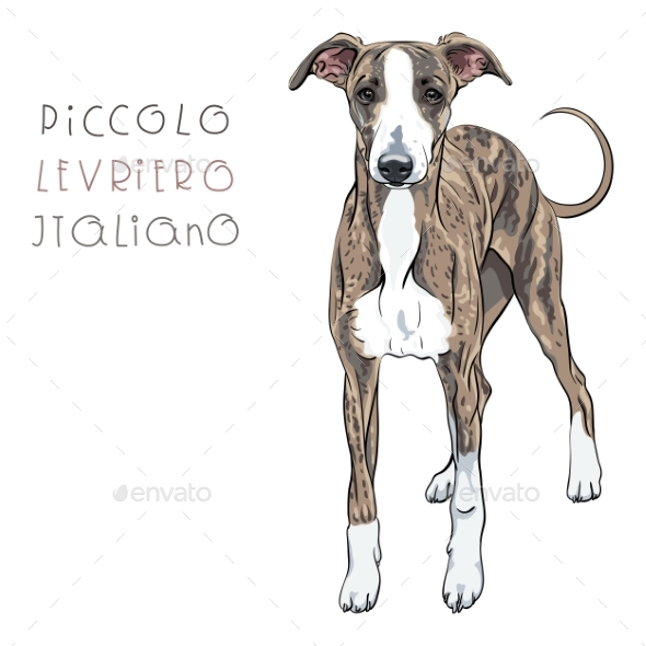 Vector Italian Greyhound Dog Breed - Animals Characters