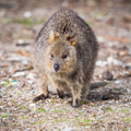 Quokka on Rottnest Island - PhotoDune Item for Sale