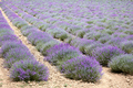 Beautiful lavender field in Provence, France - PhotoDune Item for Sale