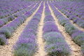 Lavender cultivation field in a sunny summer day - PhotoDune Item for Sale