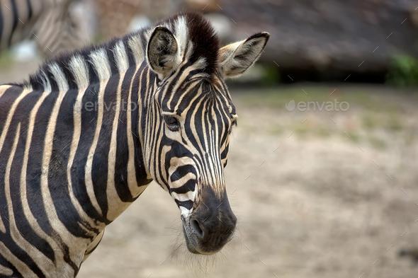 Zebra, a portrait