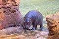 Hippopotamus in the water  - PhotoDune Item for Sale