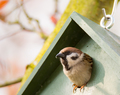 Eurasian Tree Sparrow in a Birdhouse - PhotoDune Item for Sale