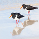 Pied Oystercatcher Pair - PhotoDune Item for Sale