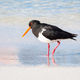 Pied Oystercatcher Wading - PhotoDune Item for Sale