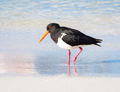 Pied Oystercatcher Wading