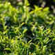 Tea leaves - PhotoDune Item for Sale