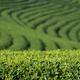 Tea plantation - PhotoDune Item for Sale