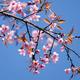 Wild Himalayan Cherry - PhotoDune Item for Sale