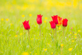 Tulips in a flower meadow - PhotoDune Item for Sale