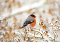 Male eurasion bullfinch bird sitting on a snow covered tree - PhotoDune Item for Sale