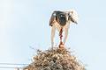 Martial eagle eating prey on communal bird nest