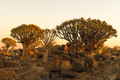 Sunset view of quiver tree forest at Garas - PhotoDune Item for Sale