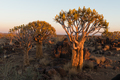 Sunset view of quiver tree forest at Garas