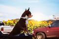 Dog at sunflower fields