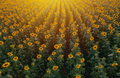 Aerial view of sunflower field in summer sunset - PhotoDune Item for Sale