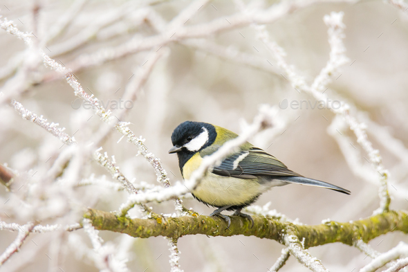 Great tit bird sitting on a frosted tree - Stock Photo - Images