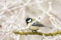 Great tit bird sitting on a frosted tree - PhotoDune Item for Sale