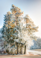 Frosted pine tree in a winter landscape - PhotoDune Item for Sale