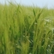 Green Wheat's Ears Waving on the Fields in - VideoHive Item for Sale