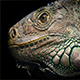 Dramatic Lizard Looking Around - VideoHive Item for Sale
