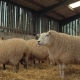 Heavily Pregnant Ewe Sheep Rest in a Barn - VideoHive Item for Sale