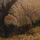 Ewe Sheep Prepares To Give Birth To Her Baby Lamb - VideoHive Item for Sale