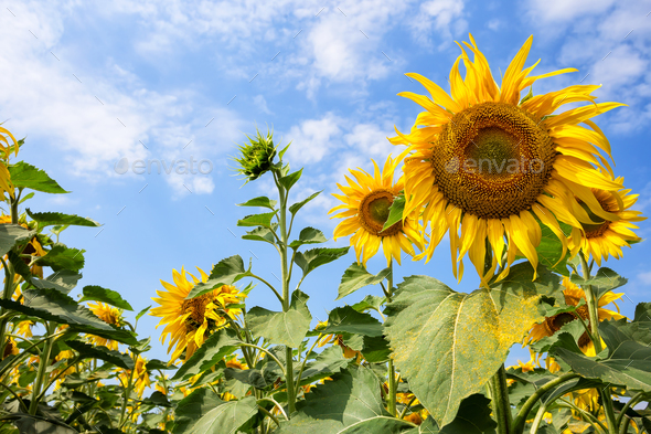 Flower of a bright yellow sunflower against the sky - Stock Photo - Images