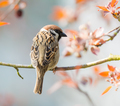 Eurasian Tree Sparrow sitting on a twig - PhotoDune Item for Sale