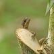 Ameiva Lizard climbing on a tree trunk in Sarapiqui, Costa Rica - PhotoDune Item for Sale