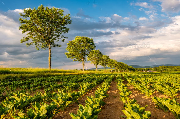Rows of young green plants on a fertile field with dark soil in warm sunshine under dramatic sky - Stock Photo - Images