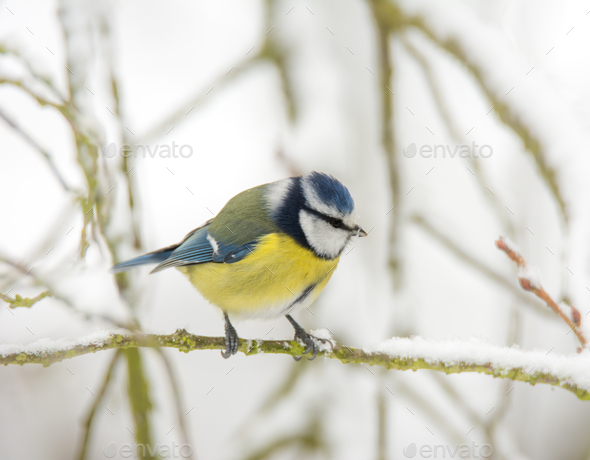 Blue tit bird sitting on a snow covered tree - Stock Photo - Images